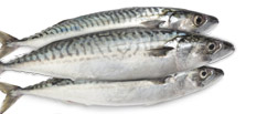 Unique Seafood Pelagic - Wholesale and Trade Supply of Mackerel, Herring and other Pelagic Fish